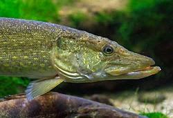 Pescar Lucios en invierno